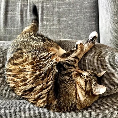 Mood of the day: #gattomenica (finalmente) 😸  #igerslaspezia #sarzana  #VitaDaAmelie #casabiondine     #catsofinstagram #instagramcats #gattidiinstagram #catofinstagram #maddyduck  #ilovemycat #catoftheday #cutecat #catlovers #catlover   #loveca