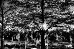 "Central Florida Sunset ""Peek-a-Boo"" IMG_6264_B&W (DanGibsonPhotography) Tags: trees baldcypress bald cypress landscape sunset blackandwhite spanishmoss spanish moss beautiful ethereal lake reflection nature"