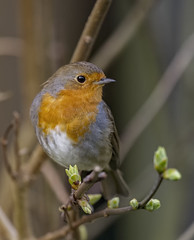 DSC_9222 Robins are not just for snow (Rattyman76) Tags: 5000mmf40 d3s nikon robin newshoots