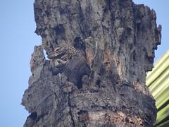 Komodo dragon-Varanus komodoensis juvenile