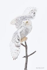 The pose.. (Earl Reinink) Tags: owl raptor pose flight bif birdinflight owlinflight snow snowy snowyowl winter white highkey earl reinink earlreinink niagara ontario nikon eyes animal perch tueuaadoa