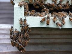 Bees Will Be Bees (alansurfin) Tags: abejas bees beehive abeilles beekeeping bienen honeybees apismellifera colmenas alveare
