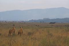 LIONESSES HUNTING, NAIROBI GAME PARK, KENYA 2014 (nordique72) Tags: animals landscape kenya nairobi lion zebra giraffe baboon wildebeast eland waterbuffalo warthog gamepark whiterhinoceros egyptiangoose osterich masaigiraffe ngonghills acaciatree thompsonsgazelle velvetmonkey crownbird animalsofkenya hardebeast maracoustork