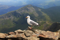 Seagull at the Summit (ThisisNadia) Tags: uk wild summer england sun mountain mountains detail green nature animal animals wales canon high scenery rocks dof view unitedkingdom britain wildlife seagull free sunny hills snowdon summit wilderness snowdonia gwynedd stood mountainrange snowdonianationalpark penrhyndeudraeth 1100d