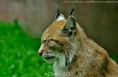 Lynx - Lynx lynx - Eurasian lynx (MrTDiddy) Tags: cat mammal zoo big kat feline bigcat eurasian lynx grote balen zoogdier olmensezoo olmense grotekat