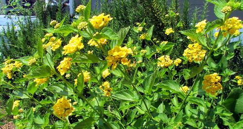 33 Flower Harkers Island NC NC  9728