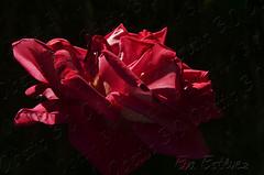 Rosa-Flor-Flower-Rose