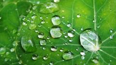 Raindrops on Nasturtiums, Whiskers on Gerbils (uncoolbob) Tags: leaves digital canon leaf gimp powershot raindrops nasturtium canonpowershotsx110is