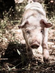 Ramaders 223 (Sebas Adrover) Tags: espaa rural canon piggy pig countryside spain mediterranean farm campo mallorca mediterrneo baleares granja cerdo balearicislands lechona balears illesbalears lechn felanitx g15