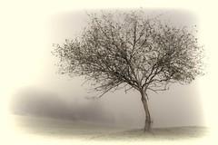 Lone Foggy Tree (loobyloo55) Tags: mist tree fog australia