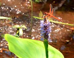 Orange and Purple DSC_0789 (John Dreyer) Tags: flowers nikon dragonfly southcarolina insects bugs wetlands bloom environment lowcountry hiltonheadisland orangebug riceplantation coastalcarolina nikond5100 photocreditjohnjdreyer copyright2014johnjdreyer