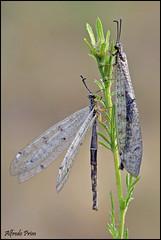 Myrmeleon formicarius (alfvet) Tags: macro nature nikon ngc natura insetti sigma150 parcodelticino veterinarifotografi d5100