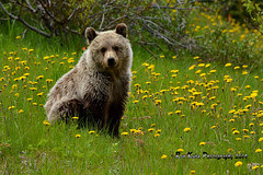 Grizzly Cub DSC_6906 (Ron Kube Photography) Tags: bear nature animal fauna mammal cub nikon grizzly carnivore grizzlybear yearling ursine d7100 ronaldok nikond7100