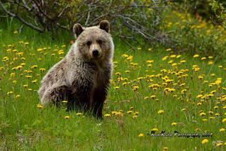 Grizzly Cub DSC_6906