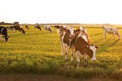 P2860426 (amsfrank) Tags: netherlands dutch rural landscape evening cows typical dyke dijk durgerdam ijsselmeer uitdam