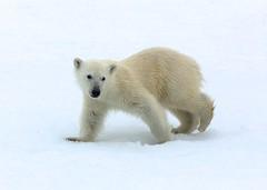 2809 Polar Bear cub (leehunterphotos) Tags: snow ice nature norway norge wildlife north glacier svalbard arctic polar spitsbergen barents
