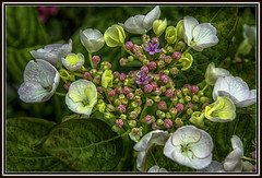 "The Dutch government has declared today, Wednesday, the ""day of national mourning."" So will you honor the victims of the crash of Flight MH17. (scorpion (13)) Tags: plant flower colour nature garden blossom plate hydrangea photoart"
