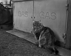 Gas (Nobusuma) Tags: blackandwhite 120 film monochrome analog cat mediumformat grey italia grigio bronica plus hp5 6x7 toscana gatto gs ilford canoscan 400iso pistoia  medioformato zenzanon   hp5plushp5 canoscan9000f