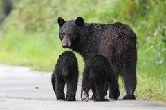Black Bear with cubs (lironsnaturephotography.com) Tags: bear canada cub bc britishcolumbia blackbear bearcub blackbearcubs bearcubs babybears blackbearcub babyblackbears lironsnaturephotographyphotos
