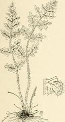 Anglų lietuvių žodynas. Žodis scaly-stalked reiškia žvirgždas lietuviškai.