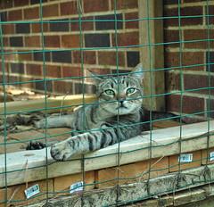 Cousin in the cat enclosure (rootcrop54) Tags: cousin male tabby striped stripes cat catenclosure catio bricks rescue 고양이 macska kedi 猫 kočka kissa γάτα köttur kucing gatto kaķis katė katt katzen kot pisică кошка mačka maček gorbe kitteh cc1000 cc6000