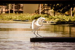 (A.Victória) Tags: white fish nature water canon river eos rebel wings warm afternoon shadows feeding hunting ceará egret elegance lightroom t3i simplelife aquaville aquiraz 600d 55250mm