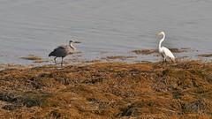 Great Blue Heron, Great Egret (Bill Bunn) Tags: maine falmouth greatblueheron greategret