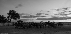 af1407_9850 bw (Adriana Fchter) Tags: trees sunset brazil sky horses bw horse sun tree beauty silhouette brasil rural caballo cheval state side country symmetry fries cavalos ameland impressed pferde cavalo ceu pferd burros natures equine chevaux paard paarden sweetface equino tocantins galope slott equines friesche mulas pferden mywinners jumentos friesische professionalequineimages adrianafuchter snogeholms