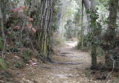 Pine Path VI (Joe Josephs: 2,861,655 views - thank you) Tags: california nature walking hiking forests pinetrees californiacoast californiacentralcoast naturephotography pacificcoasthighway pineforests outdoorphotography fiscaliniranchpreserve joejosephs joejosephsphotography copyrightjoejosephs2012 copyrightjoejosephsphotography 12961480172jcb9cd12961480172jcb9cda12904368019f4jcxj 12904368019f4jcxja fujifilmxt1 fujifilmxf56mm