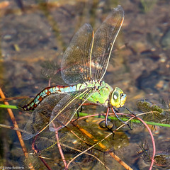 Emperor Dragonfly (Eiona R.) Tags: wales unitedkingdom burryport emperordragonfly wfcburryport2014