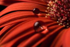 _DSC6626-Bearbeitet.jpg (Till Jung) Tags: red flower macro reflection water garden leaf close natur drop gerbera blume d7100