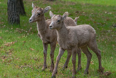 Friends - Bighorn sheep (rvtn) Tags: friends usa baby nature animal animals southdakota blackhills twins babies friendship wildlife bighorn bighornsheep