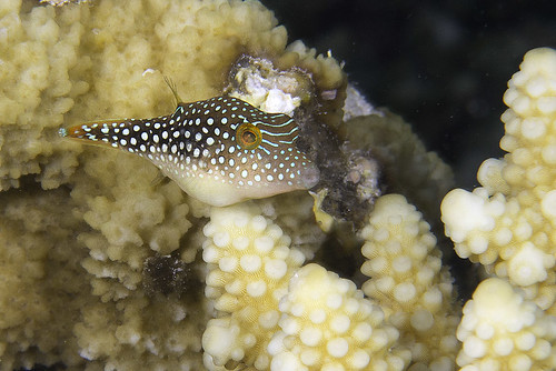 Pearl Toby, juvenile - Canthigaster margaritata