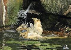 37 (Fruehlingsstern) Tags: berlin zoo tosca polarbear nancy orangutan katjuscha maika eisbr murmeltier berlinerzoo knigspinguin brasilianischersperlingskauz waldmurmeltier