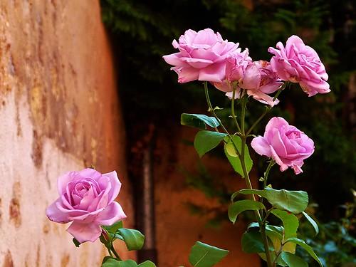 Rosas en la casa museo segoviana del poeta Antonio Machado