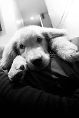 DSC_0878_1 (Manuel D Snchez) Tags: dogs perros dogos seleccionar