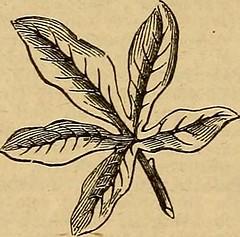 Anglų lietuvių žodynas. Žodis palmiferous reiškia <li>palmiferous</li> lietuviškai.