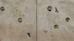 362.4 20140603-Oeverzwaluw-J1406-19375 (dirkvanmourik) Tags: nederland vogels texel sandmartin oeverzwaluw ripariariparia metrikenbert