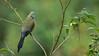 Long-tailed silky-flycatcher (Raymond J Barlow) Tags: travel bird costarica wildlife adventure workshop tours silky flycatcher raybarlowworkshops raymondbarlowtours