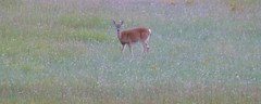 Deer in the Hay field (Philosopher Queen) Tags: field evening michigan wildlife deer hay pierport