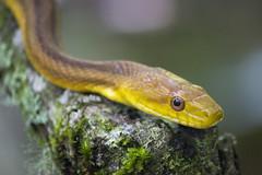 Yellow Rat Snake (DFChurch) Tags: wild nature yellow rat florida bokeh reptile snake south swamp serpent corkscrew sanctuary