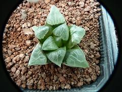 Haworthia  Bayeri  Uniondale. (madoldman21) Tags: haworthia flick uniondale bayeri