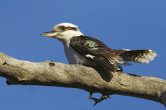 Laughing Kookaburra 2014-07-27 (_MG_4829) (ajhaysom) Tags: australia melbourne 117 australianbirds dacelonovaeguineae laughingkookaburra greenvale canoneos60d sigma120400 woodlandshistoricpark