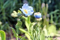 REFORD GARDENS |      BLUE POPPY  | PAVOT BLEU  |    REFORD GARDENS |  LES JARDINS DE MTIS  | QUEBEC  |  GASPESIE   |  CANADA (C. C. Gosselin) Tags: blue canada gardens les canon de eos quebec mark bleu ii 7d poppy canoneos jardins gaspesie | markii mtis pavot reford canoneosrebelt2 eos7d canoneos7d canon7d canoneosrebelt2i 7dmarkii ph:camera=canon canon7dmarkii