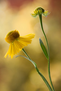 Golden heleniums