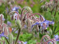 Borago officinalis (aniko e) Tags: blue plant flower garden purple diversity edible herb boragoofficinalis boraginaceae borretsch borago ogóreczniklekarski borágó öbz