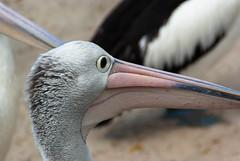 I am Keeping my Eye on Him (Jocey K) Tags: pelicans birds sand labrador australia queensland goldcoast