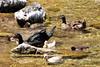 DSC_0324 (RachidH) Tags: sea lake birds geese mediterranean hellas ducks goose greece waterfowl kefalonia canard oiseaux muscovy oie karavomylos rachidh melissany