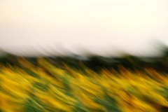 Poetry in motion (judi may) Tags: motion green yellow movement sunflowers hertfordshire hitchin icm ickleford intentionalcameramovement hitchinlavender canon7d hitchinlavenderfarm