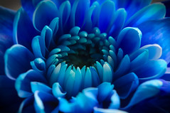 The blue one (Curl66) Tags: blue flower color macro nature closeup canon photography scotland petals colored moray